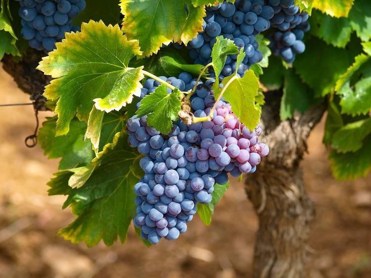 vigne-plantation.jpg
