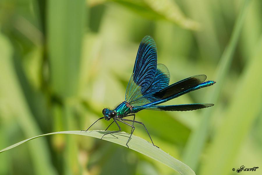 calopteryx_eclatant_014869.jpg