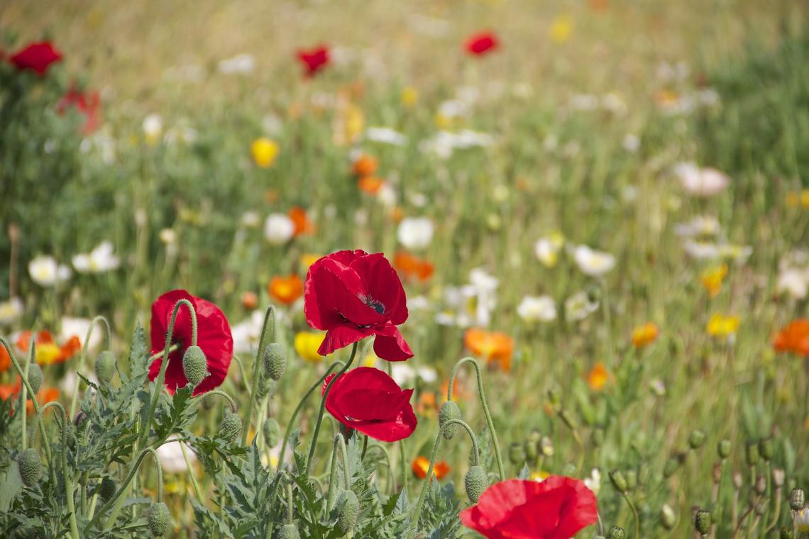 poppies-199099_1920.jpg