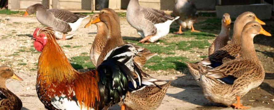 Basse-cour-ferme-maneholt-poulet-lecoq-manehouville-890x360.jpg