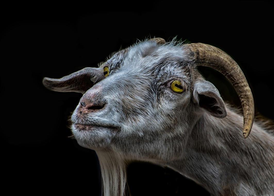 goat-3180258_1280.jpg
