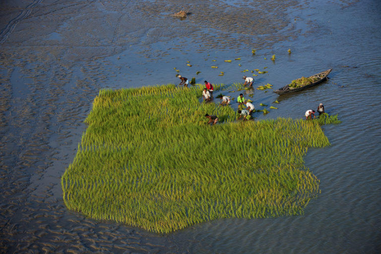 Repiquage du riz au Bangladesh - Yann Arthus-Bertrand.jpg
