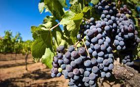 grain de raisin et vigne.jpg
