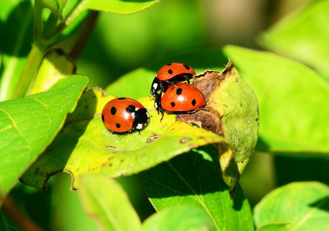 coccinelle-insecte-images-photos-gratuites-libres-de-droits1-1560x1096.jpg