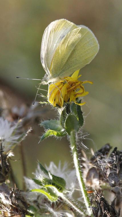 papillon-credit dominique Chaud.jpg