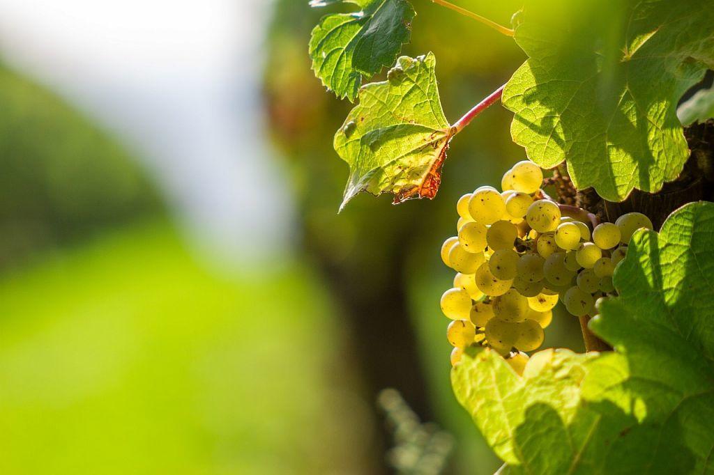 Vin des Côtes de Gascogne
