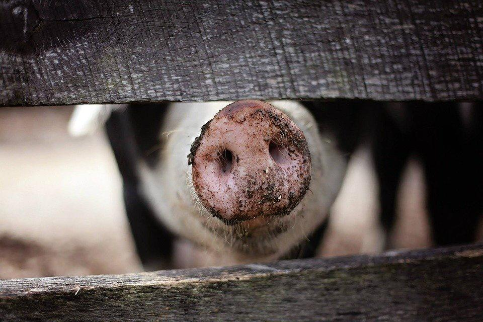 Producteur de Porc fermier