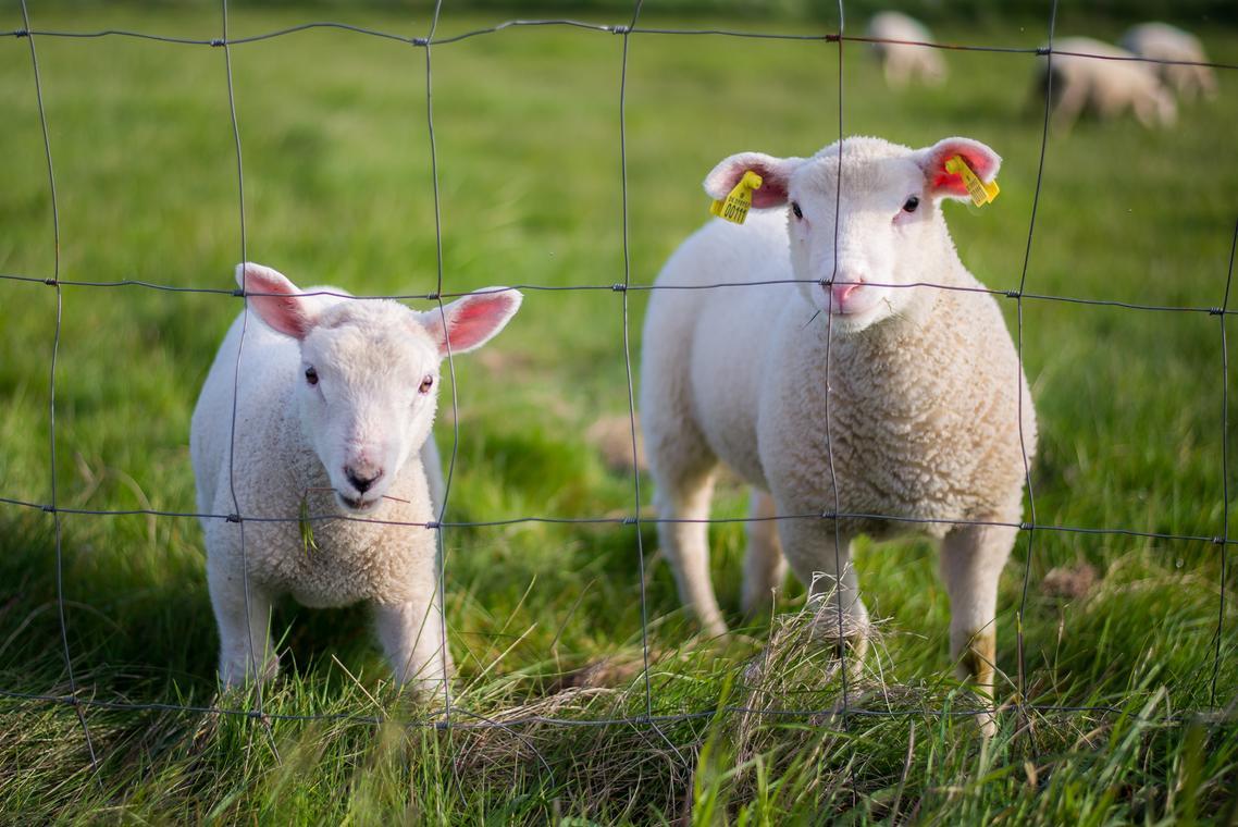 lamb -  freepik le cable