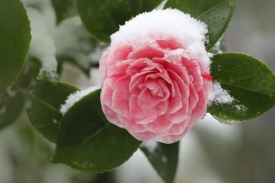 camellia-pixabay-libre-de-droit