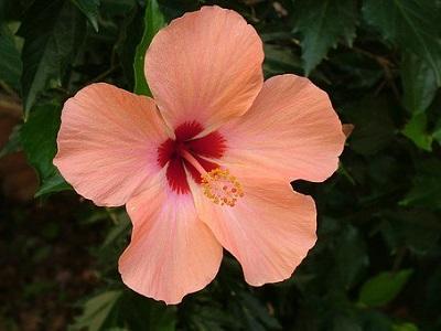 hibiscus-pixabay-libre-de-droit