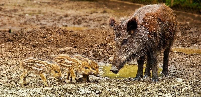 wild-boar-3481646_1280