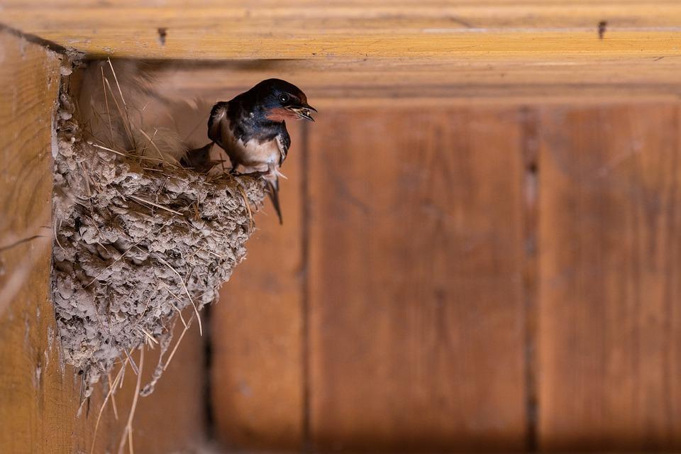 barn-swallow-4210842_960_720