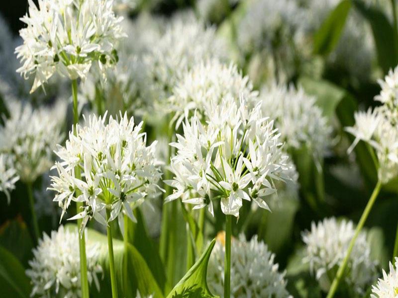ail_des_ours - atelier découverte des plantes sauvages -Penmarc'h-Pays Bigoudene