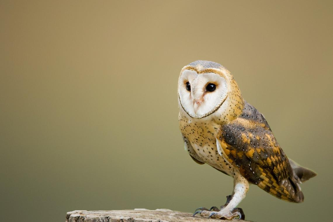 barn-owl-2988291_1920