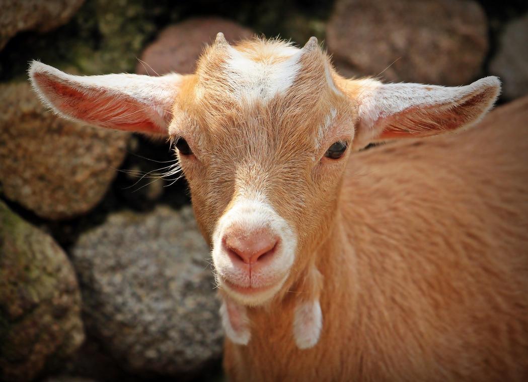 goat-1438254_1920