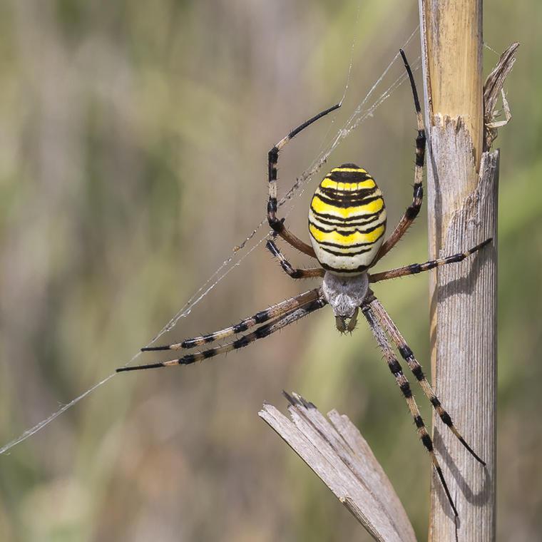 conf. 26 mars Les araignées d'içi Epeire fasciée