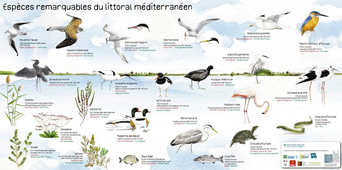 espèces-remarquables-du-littoral-©pole-relais-lagunes-mediterraneennes