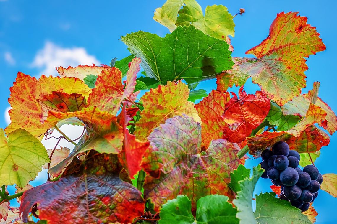 vine-leaves-3674755_1280