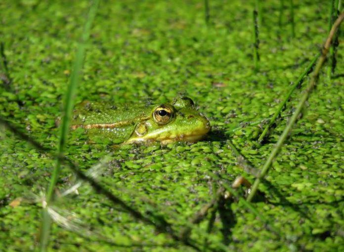 Sougéal - grenouille