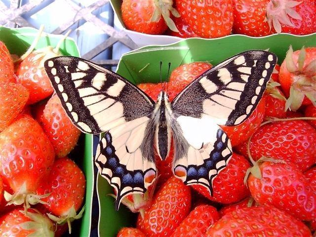 papillon-fraise