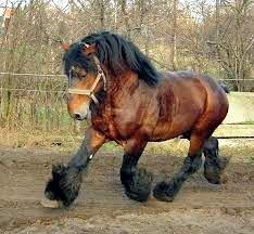 Concours cheval de trait