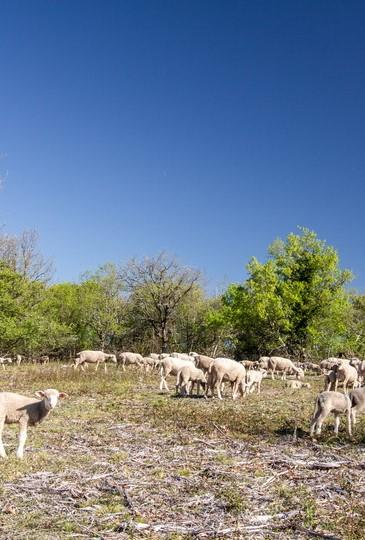 OK- Table-ronde 10 mai Floirac- Moutons sur le Causse © Lot Tourisme C. Novello