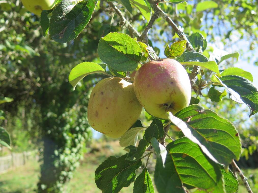 Pommes corréziennes