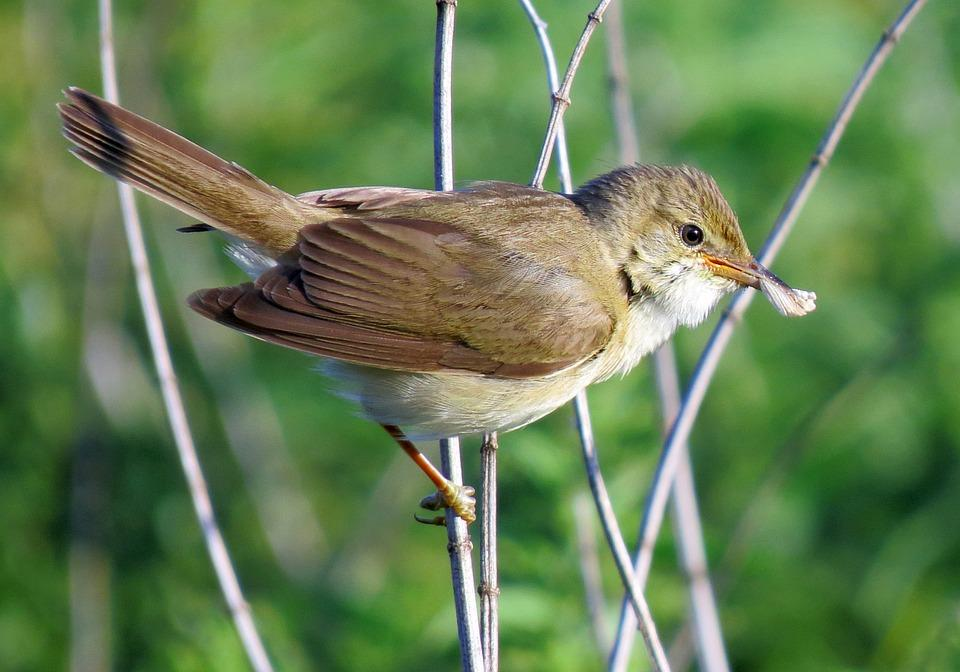 oiseau©marsh-warbler pixabay