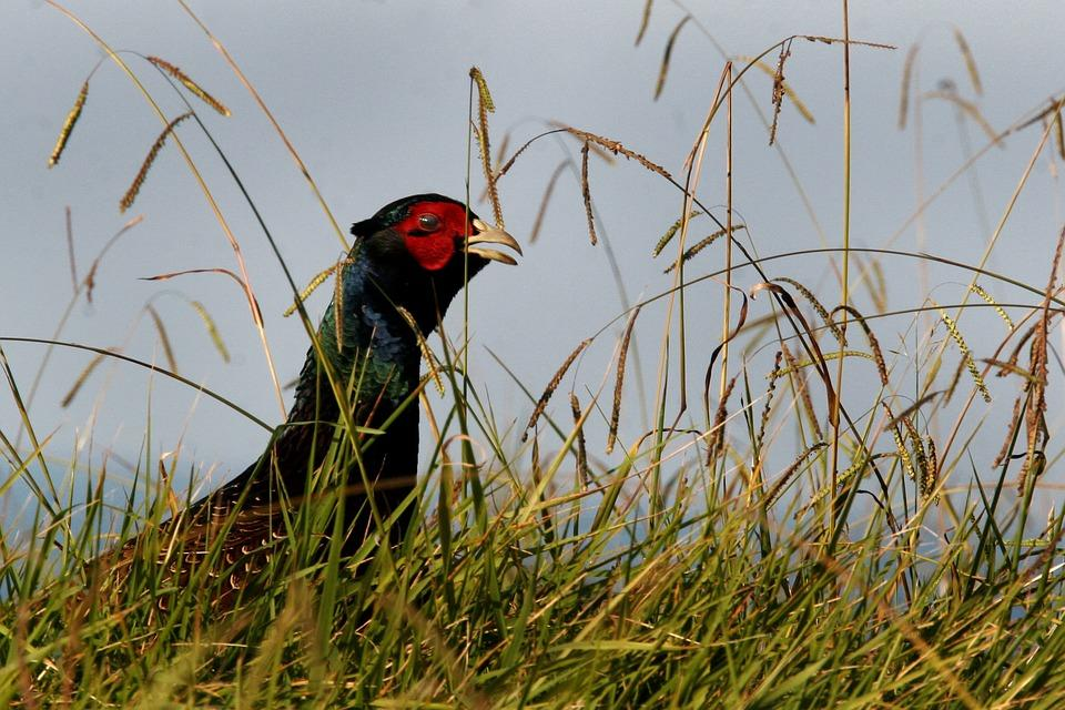 pheasant-393976_960_720