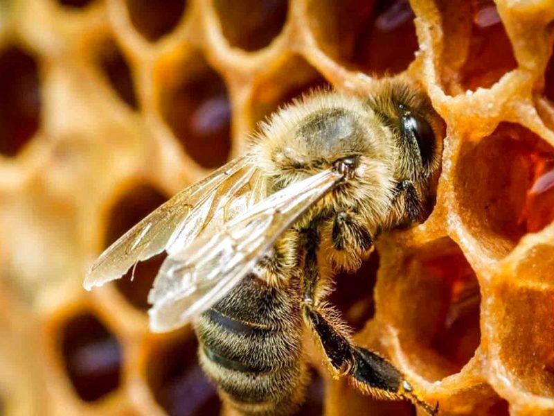 STJU - monde des abeilles