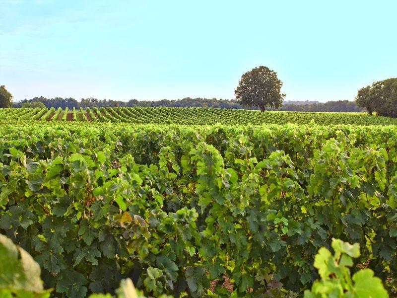 Vignobles Libournais 1