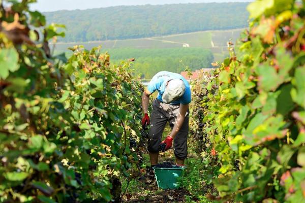 vendangeur-dun-jour-au-champagne-boude-baudin-32748