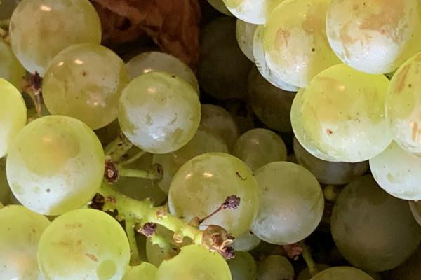 vendangeur-dun-jour-au-champagne-couvreur-philippart-33c4f