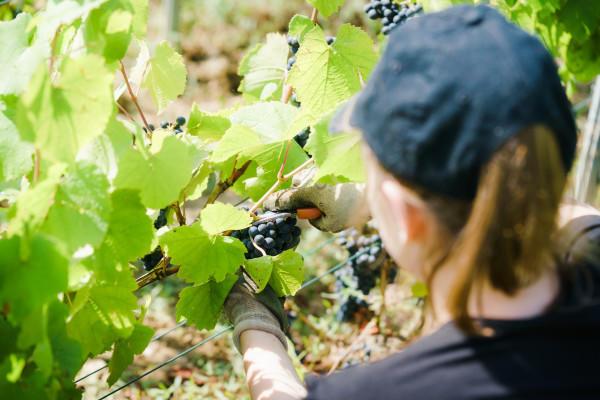 vigneron-dun-jour-maturation-3efe0