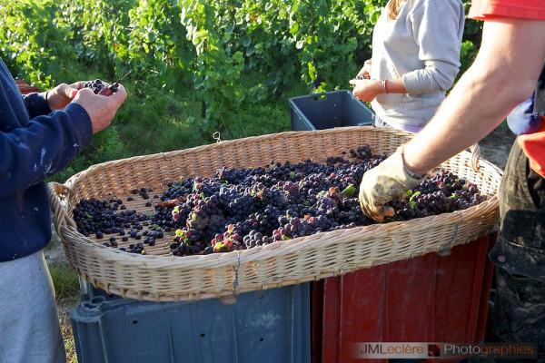 vigneron-dun-jour-maturite-du-raisin-1