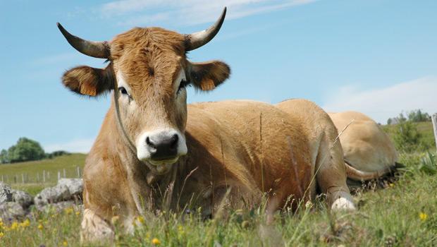 vache-race-aubrac