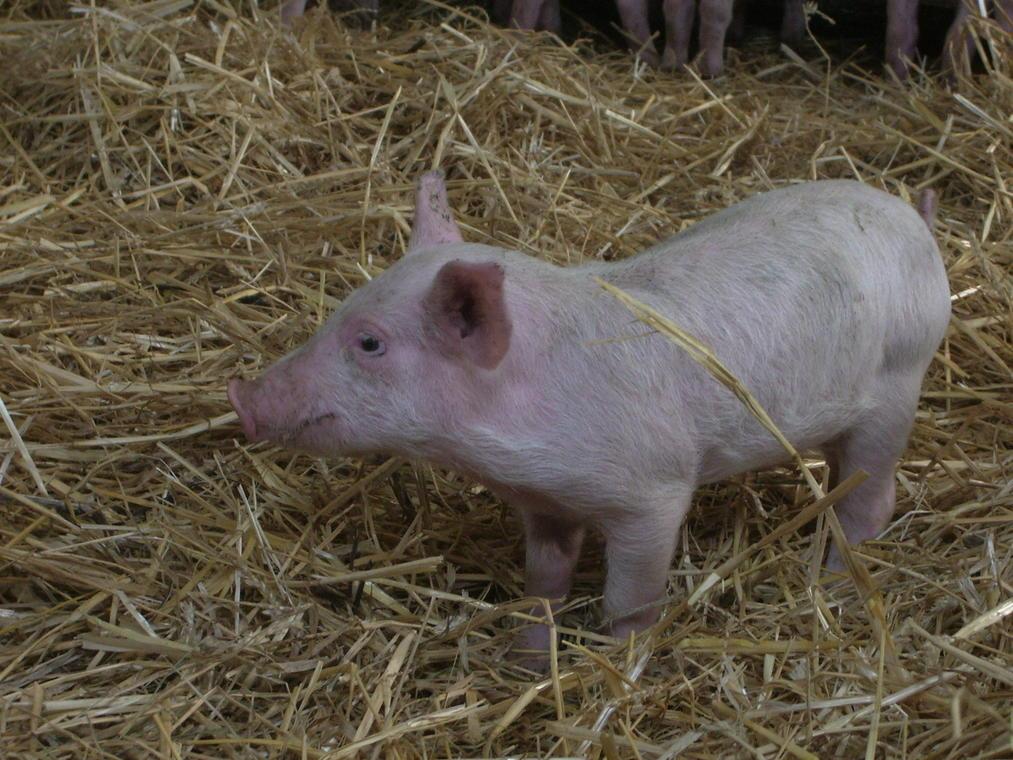 Elevage porcs