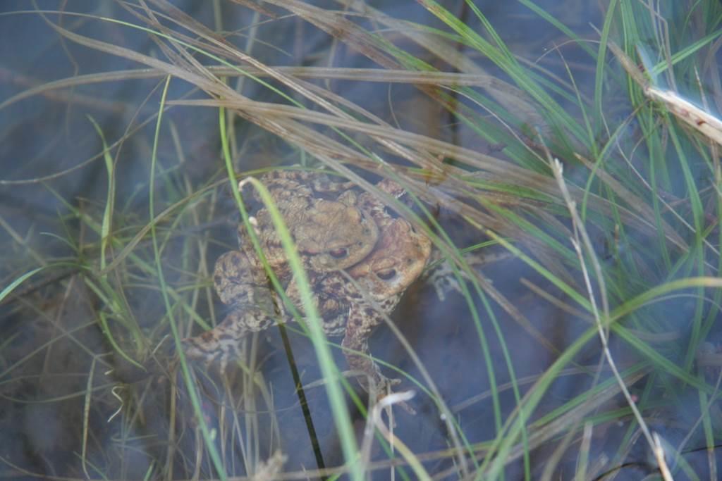 Petites bêtes de la mare - amphibiens