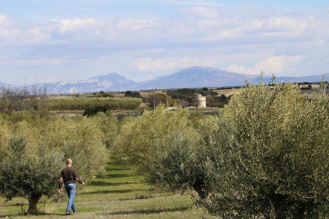 Balade nature : l'olivier