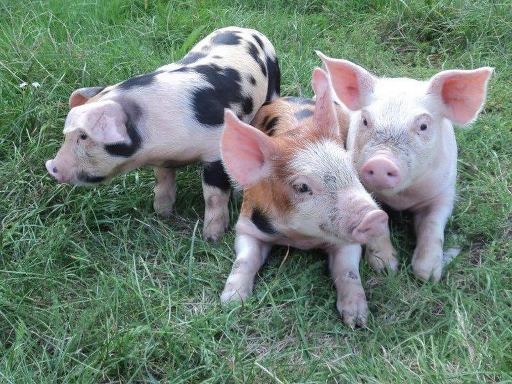 la ferme du petit cochon