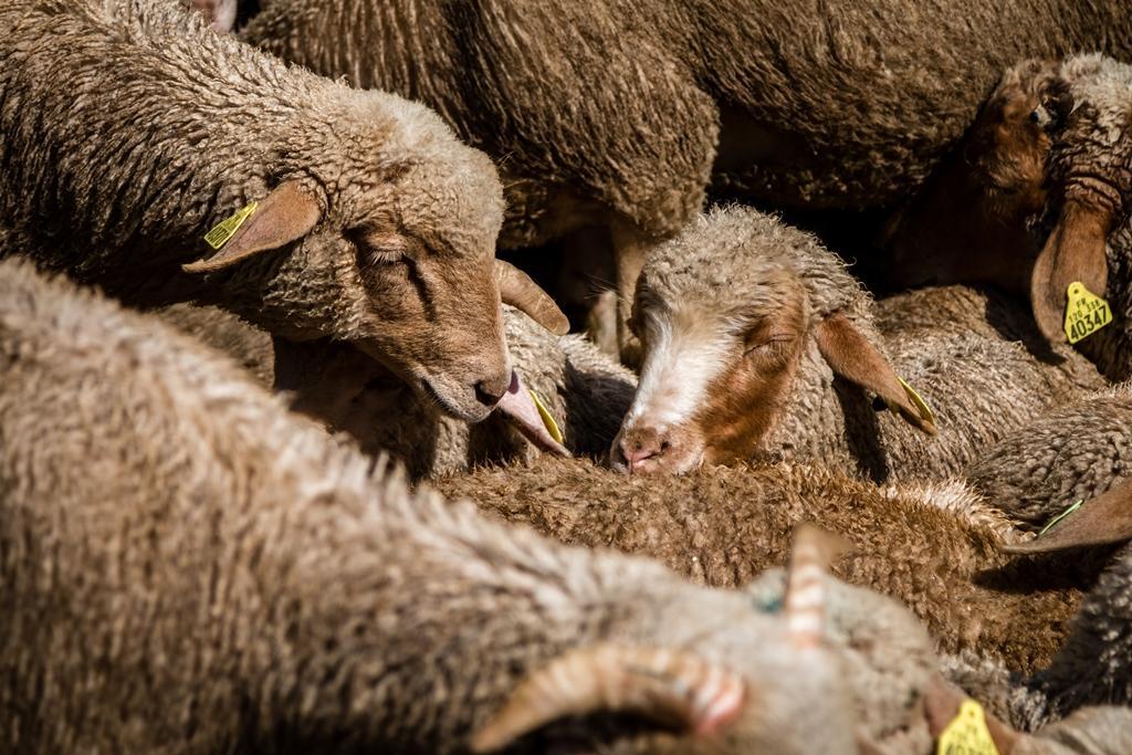 Moutons des Alpes de Haute Provence