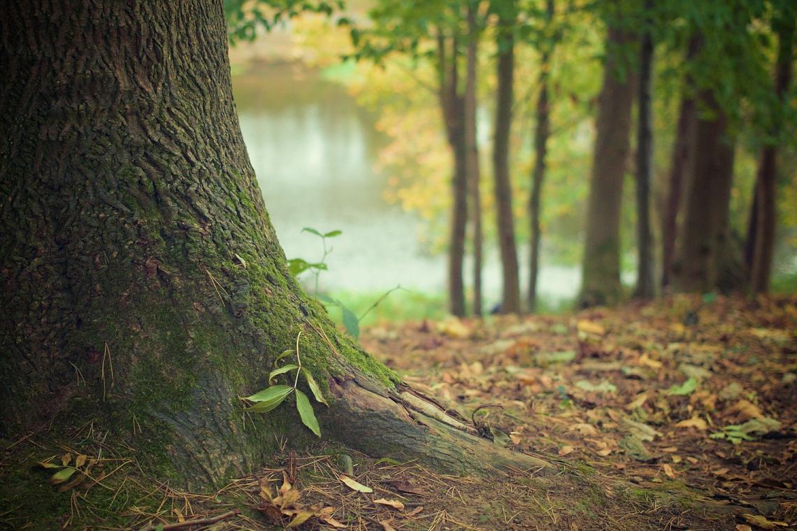 Forêt dombiste