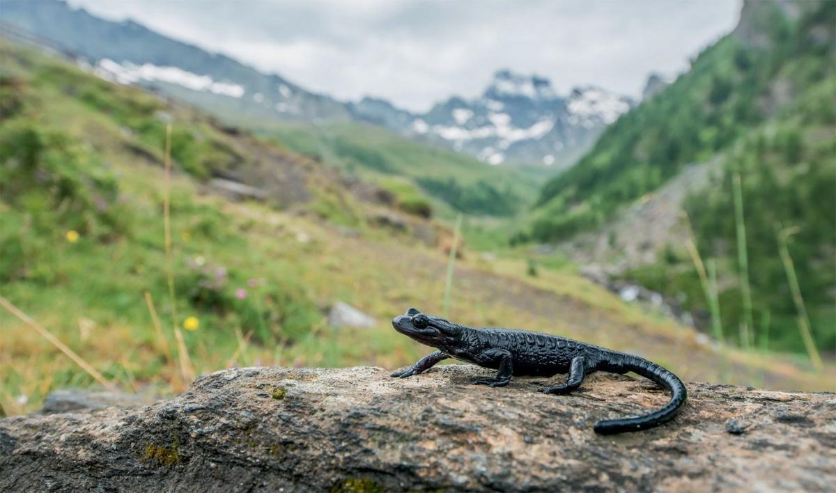 Salamandre de Lanza