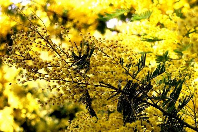 mimosas sont en fleurs - Vallon de la Gaillarde