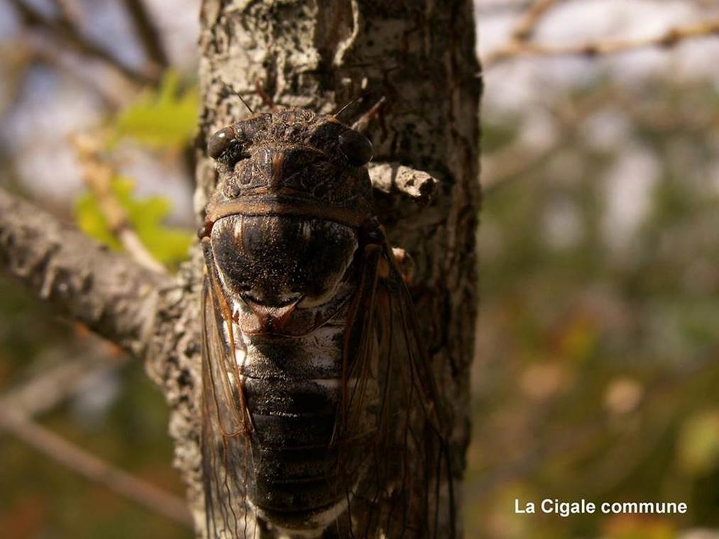 Sortie nature cigales