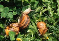Des escargots à gogo