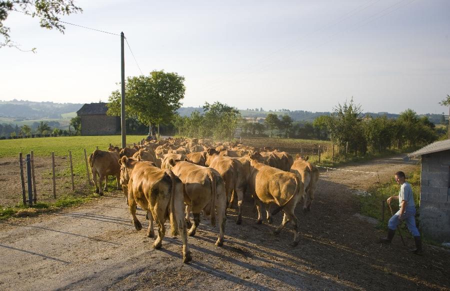 L'éleveur ramène les vaches au troupeau