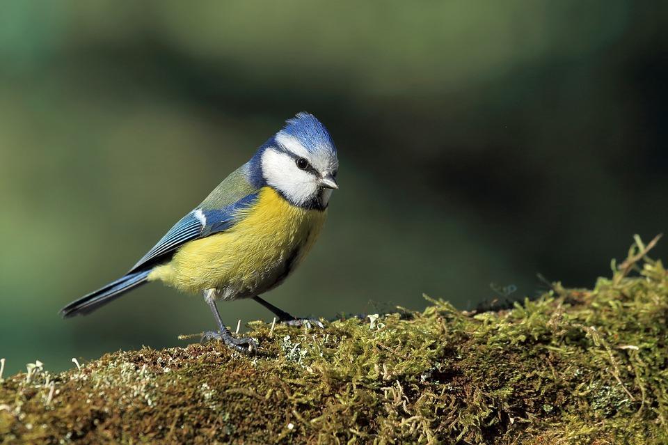 Chants-d-oiseaux-des-bois
