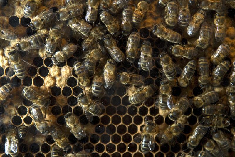 Abeilles dans une ruche < Laonnois a Aisne < Picardie