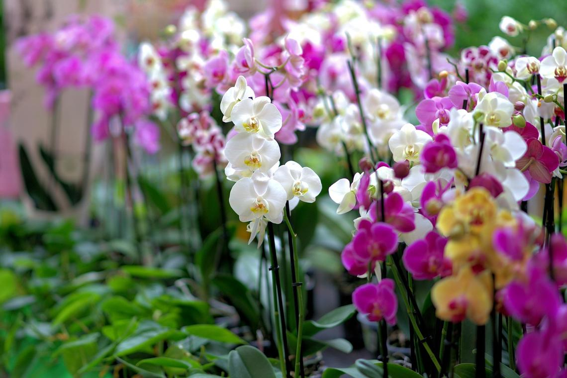 orchid-3479539_1280